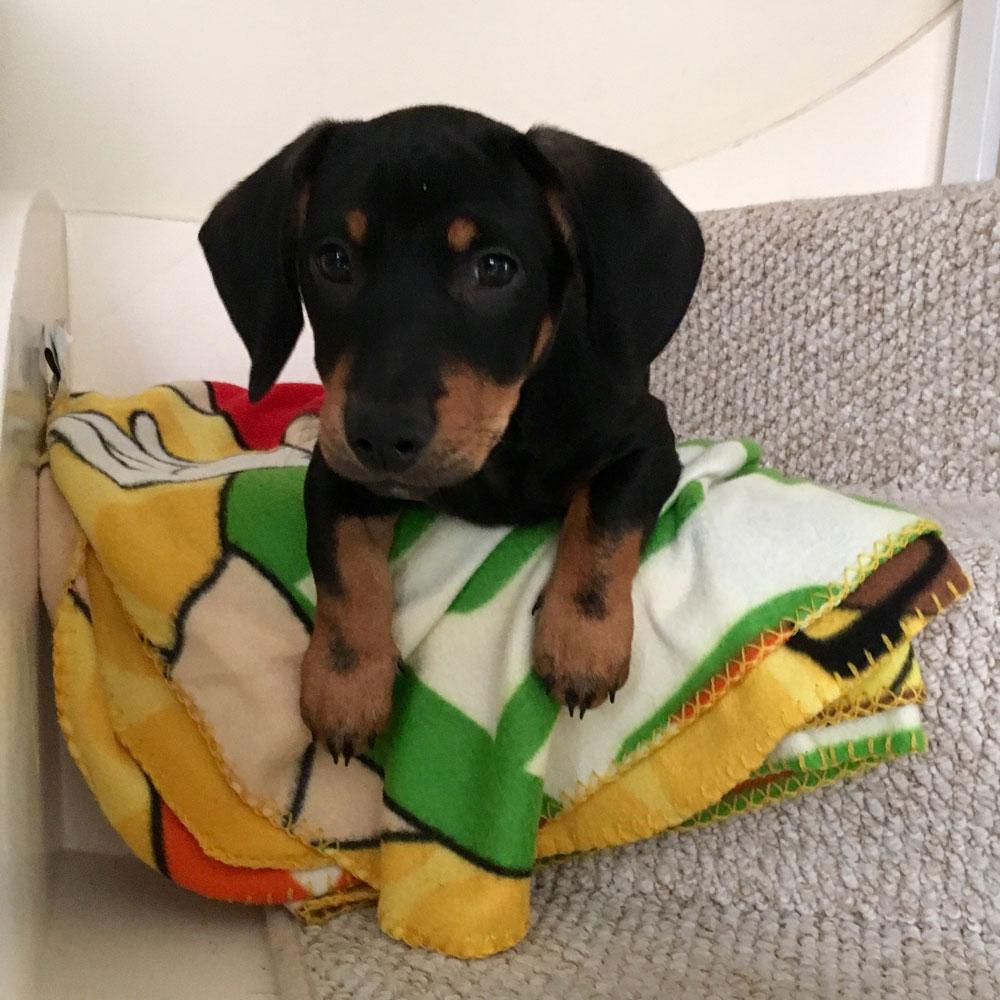 Pets Corner Dog Buster Collar